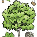 Plane trees. Educational resource for The Garden Classroom