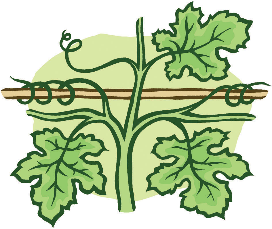 Grape growing diagram for Gardeners' World Magazine