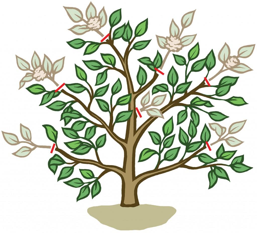 Camellia pruning diagram for Gardeners' World Magazine