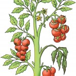 Illustration of vegetable diseases for Gardeners' World Magazine