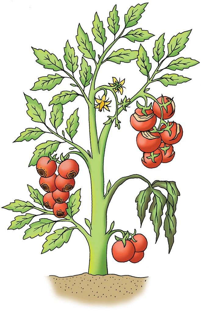 Illustration of vegetable diseases for Gardeners' World Magazine